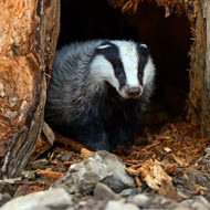 Staggering cost of badger cull revealed