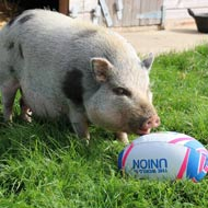 Rugby-playing pig hopes to find a new team