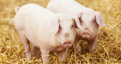 Gene-modified micropigs to be sold as pets