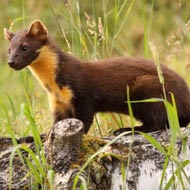 Pine marten recovery project begins