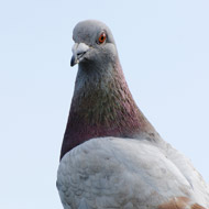 Pigeons identify cancerous tissue on x-rays
