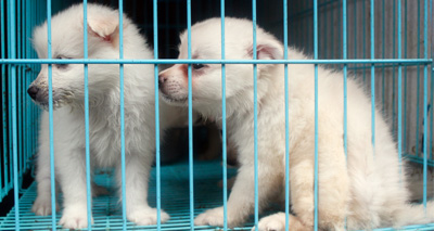 Westminster to consult on dog breeding