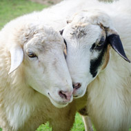 Report celebrates genetic advances in sheep industry