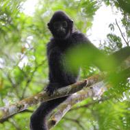 Over half of world's primates facing extinction, experts warn