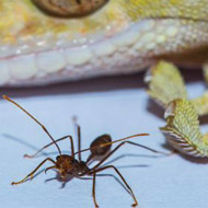 Geckos are largest animals able to scale walls, study finds