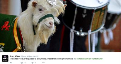 Regimental goat appointed by Welsh battalion