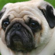 Overwight dog