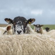 Survey reveals true scale of sheep dipping illness