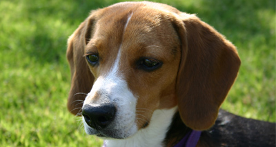 Gene therapy used to treat dog blood disorder