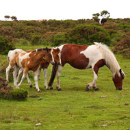 Ponies rescued from Bodmin Moor