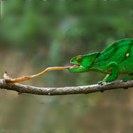 Study reveals 'elastic' secrets of chameleon's tongue
