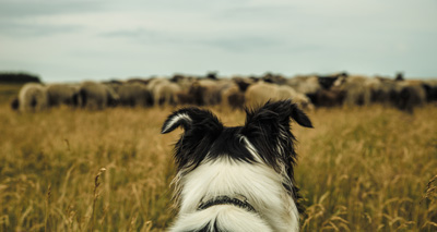 Sheepdog travels 240 miles to get home