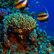 Smell of dying coral affects fish senses