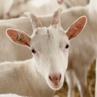 Team goat deployed to New York park