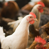 Feather loss reduced in cage-free laying hens