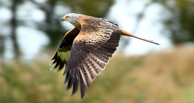 Shocking rise in red kite persecution