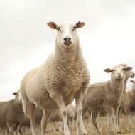 Metacam approved for use in sheep