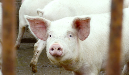 'Significant potential' for new swine flu strains