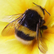 Tiny 'dancing' hairs alert bees to floral electric fields