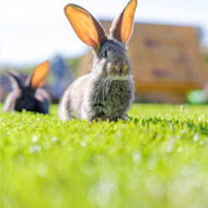 Enrichment cuts rabbits' stress levels by half, study finds