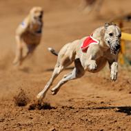 Should we limit greyhound breeding?