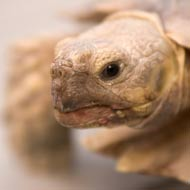 Injured tortoise receives 3D printed shell