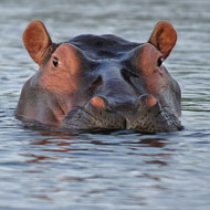 Zambia to cull thousands of hippos
