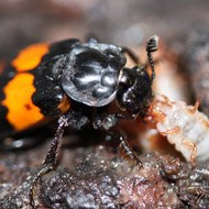 Beetles with fighting experience make better mothers