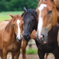 Some horses 'genetically vulnerable' to sarcoids