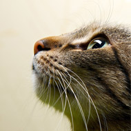 Study suggests cats understand the laws of physics