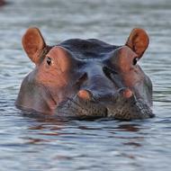 Zambian hippo cull suspended