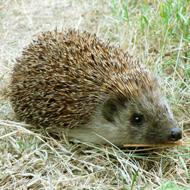 Garden sightings of hedgehogs in decline