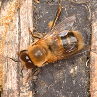 Male honey bees vulnerable to neonicotinoids, study finds