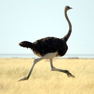 Ostrich family on the run in Ayrshire