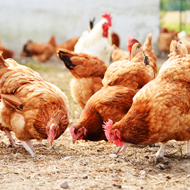 Genes may give greater resistance to avian flu