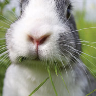Practices encouraged to speak to rabbit owners about RVHD2