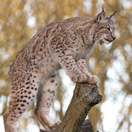 Preferred locations for lynx reintroduction announced
