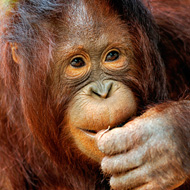 Early human speech linked to orangutans