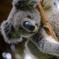 Koalas learn to use safe passages