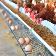 Barn egg campaigner launches new petition