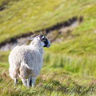 Report highlights the benefits of upland sheep