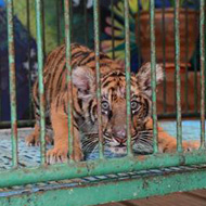 Global charity exposes tiger 'selfie' suffering