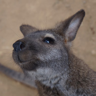 Small animals vets treat wallaby in Indiana