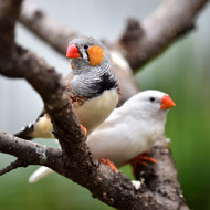Research reveals embryonic hearing abilities in birds