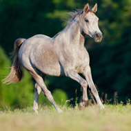Scientists test safer treatment for equine melanoma