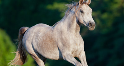Scientists test safer treatment for equine melanoma