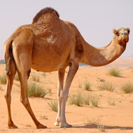 Common cold virus originated in camels, study shows