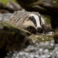 Response to reports of badger cull extension