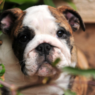 Study sheds light on bladder stones in bulldogs