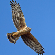 Hen harrier missing from Monadhliath Mountains